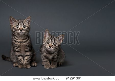 Two British Shorthair Kittens