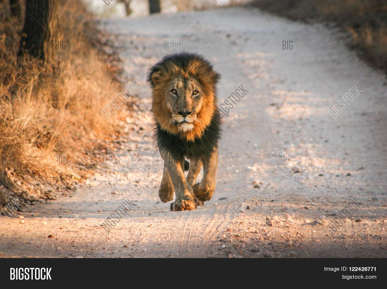 lion walking towards camera image amp photo bigstock