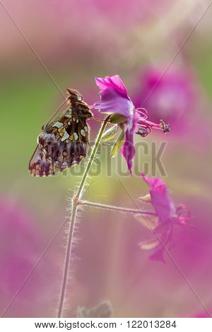 Butterfly (Boloria dia) on flower with a great background poster