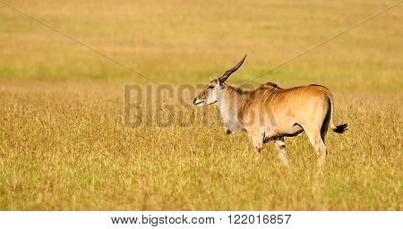 Eland (Taurotragus oryx)l argest of the african antilopes grazing in the savanna