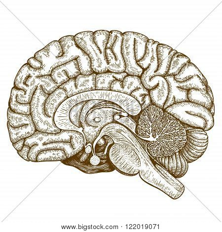 Vector engraving antique illustration of human brain isolated on white background