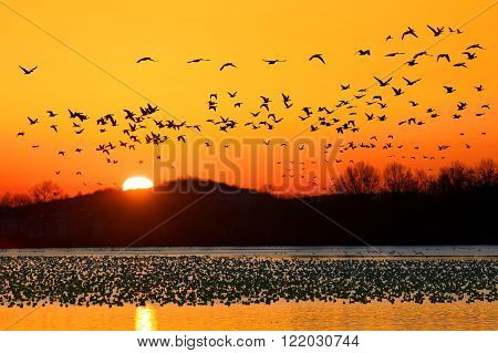 A flock of Snow Geese take flight at Middle Creek Wildlife Management Area in Lancaster County Pennsylvania USA.