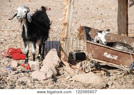 Two goat with long ears among rocky muddy terrain. One lies in the old washtub