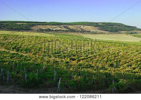 Big grapes growing on a hillside on a sunny day. poster