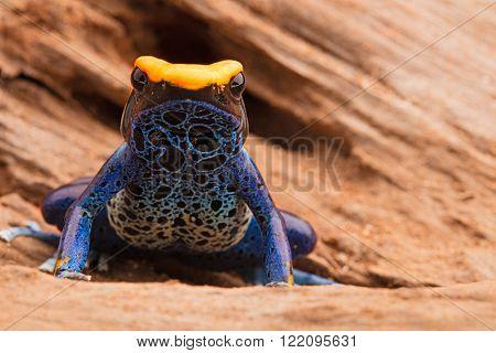 poison frog, dendrobates tinctorius