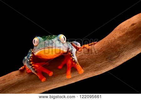 fringe tree frog, Cruziohyla craspedopus. A tropical rain forest amphibian from the amazon rainforest. Exotic animal and treefrog.