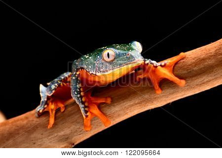 fringe tree frog, Cruziohyla craspedopus. A tropical rain forest amphibian from the amazon rainforest. Exotic animal and treefrog.