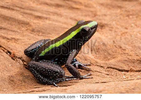 Poison dart frog, phyllobates aurotaenia from the tropical rain forest of the Amazon in Colombia. A poisonous animal