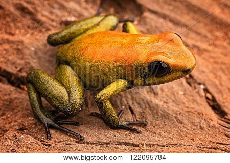 poison arrow frog Phyllobates bicolor, a poisonous animal from the Amazon rain forest in Colombia. Amphibian macro