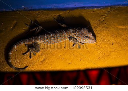 Gecko Tokay Climbing A Wall At Night In Bali (gekko Gecko)
