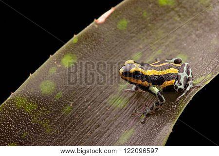 Poison dart frog Peru rain forest, Ranitomeya lamasi panguana. A beautiful tropical and poisonous rainforest animal.