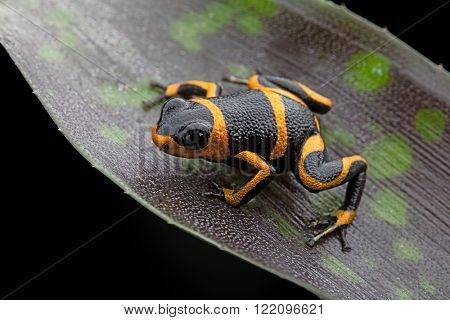poison dart frog Ranitomeya imitator, a poisonous animal from the Amazon rain forest in Peru and Ecuador