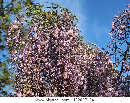 Spring flowers series purple Wisteria and blue sky