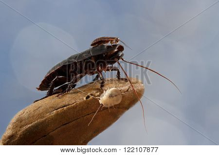 closeup little Madagascar cockroach is sitting on a large cockroach on a blue background/closeup three Madagascar cockroaches on a stone on blue background/