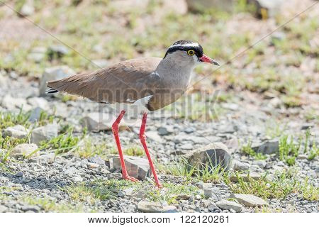 A crowned plover also called a crowned lapwing Vanellus coronatus in the Mountain Zebra National Park near Cradock in South Africa
