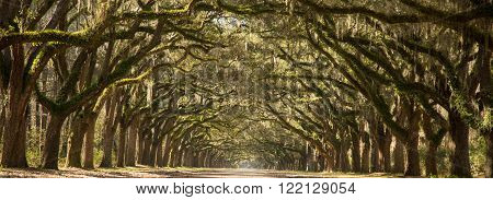 A dirt road lined on either side with large oak trees covered in Spanish Moss.