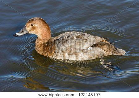 Duck on the river .Female of Common Pochard (aythya ferina).