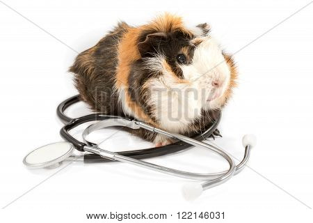 Tricolor fluffy guinea pig sits on top of a black stethoscope isolated on white background