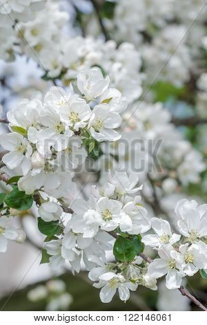 Beautiful apple tree pink and white flowers on new spring branch