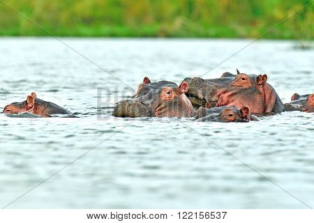 Hippos in the river Mara National Park Masai Mara