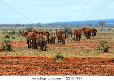 African Elephants In The Savannah
