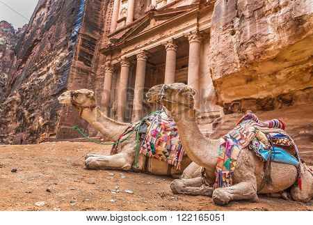 Two bedouin camels rests near the treasury Al Khazneh carved into the rock at Petra Jordan. Petra is one the New Seven Wonders of the World