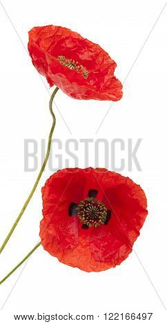 bright red poppy macro isolated on white