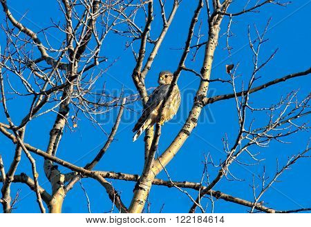 Merlin perched in a tree near the Denali Highway in the Alaska Range