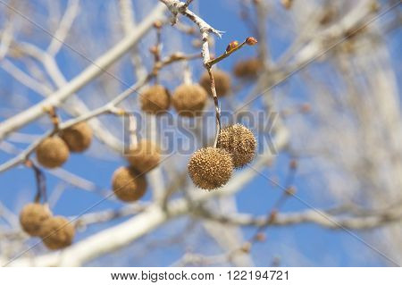 Seed Pods For Sycamore Tree Hanging From Branch With Blue Sky Background.