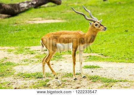 Blackbuck or deer (Antilope cervicapra) in zoo.