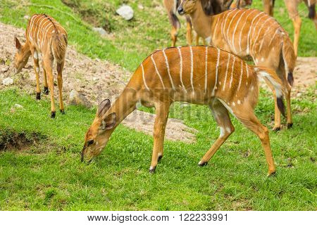 Nyala or deer (Tragelaphus angasi) in zoo.