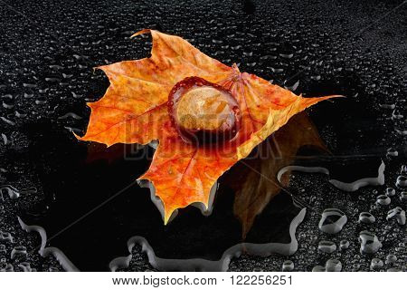 a wet maple leaf with a chestnut on a black background