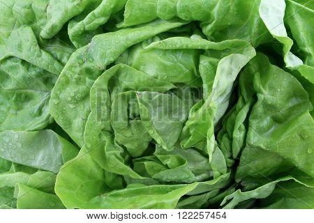 A closeup of a green head lettuce