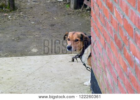 Mongrel dog on a chain. Dog in a private home.
