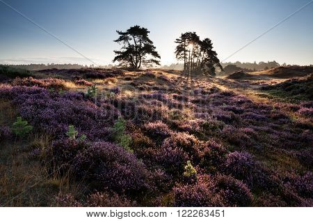 beautiful sunrise on hills with heather flowers in summer