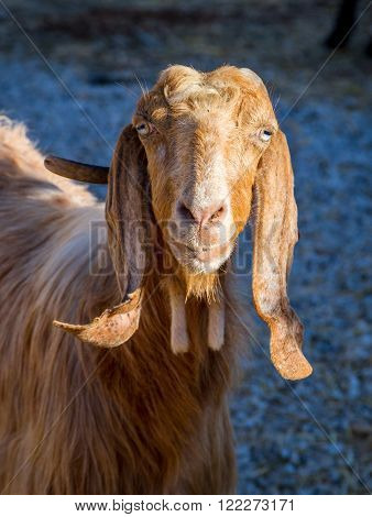 Mediterranean long-eared nanny-goat looking into the frame close-up