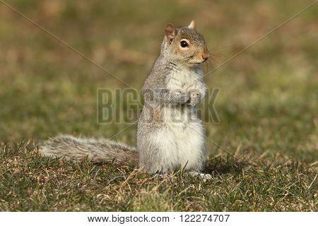 Gray Squirrel (sciurus carolinensis) on a lawn