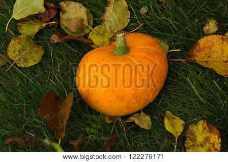 the photograph shows a little orange pumpkin on grass with autumn leaves