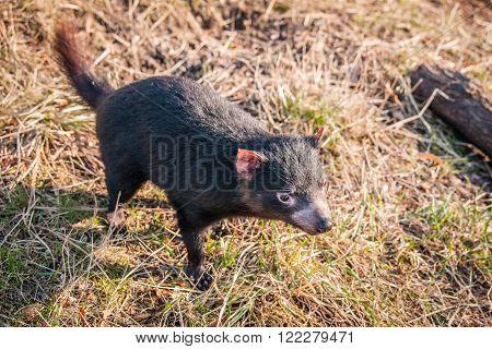 Tasmanian Devil Looking For Food