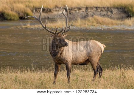 a big bull elk in a meadow in fall