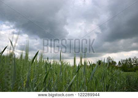 Green wheat (Triticum) field on dark cloudy sky in springtime. Close up of unripe wheat ears. Slovakia