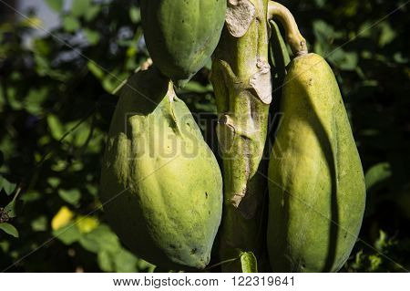 Green papaya on the tree growing in Thailand