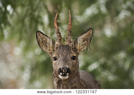 a close up of the head of a roebuck