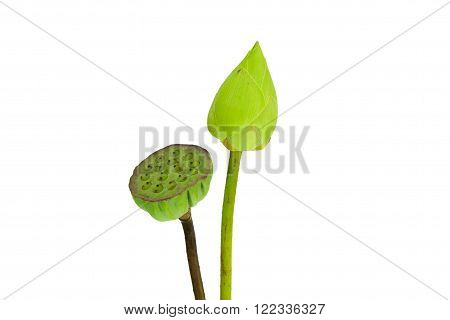 Lotus and calyx on the white background