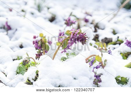 Spring violet hollowroot (corydalis) flower covered with snow, beautiful spring card