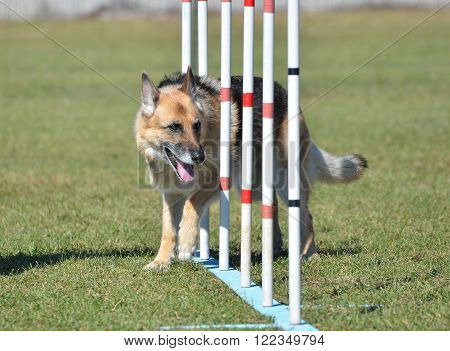 German Shepherd Weaving Through Poles at a Dog Agility Trial poster