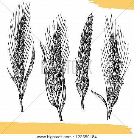 Wheat ears. Black and white color. Bakery sketch. Vintage vector hand drawn engraving illustration. Black on white background.