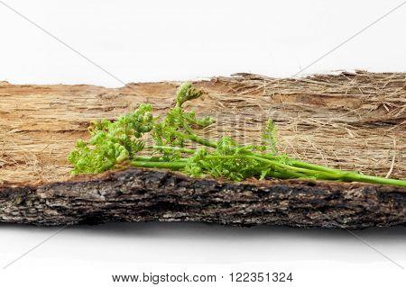 Fresh shoots of bracken lying on the bark