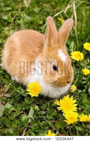 Easter rabbit on grass with yellow flowers