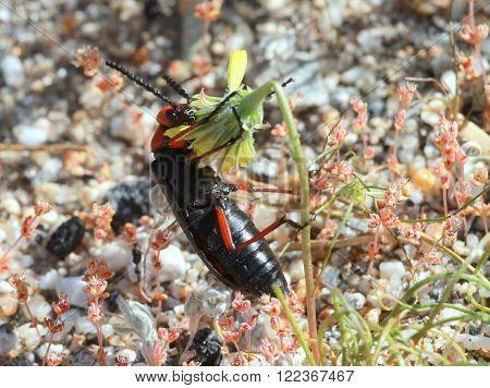A Desert Blister Beetle (Lytta magister) feeding on a flower
